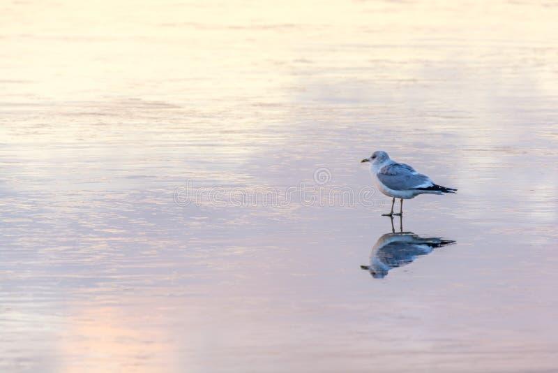 Seagullen står på en djupfryst sjö och reflekteras i isen royaltyfria bilder