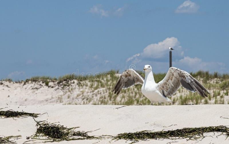 Seagullen står på sand med öppna vingar och dyner i bakgrunden royaltyfria foton