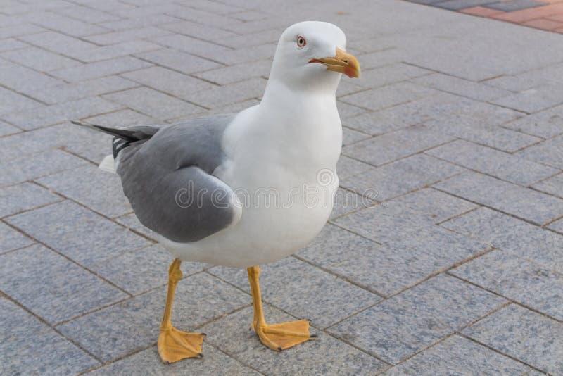 Seagullfågel som ser nyfiket kameran royaltyfri bild