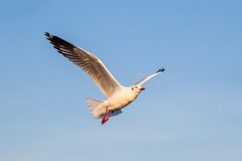 Seagullfågelflyg på havet på smällbajset, Samutprakan, Thailand royaltyfri foto
