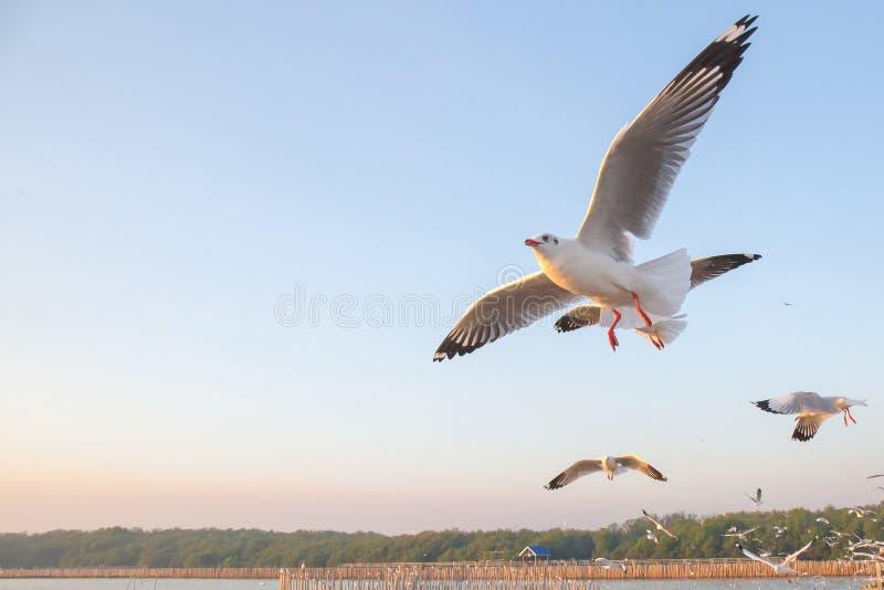 Seagullfågelflyg på havet på smällbajset, Samutprakan, Thailand arkivfoto