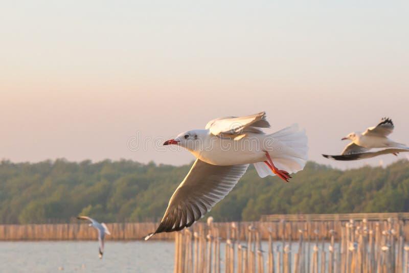 Seagullfågelflyg på havet på smällbajset, Samutprakan, Thailand royaltyfria bilder