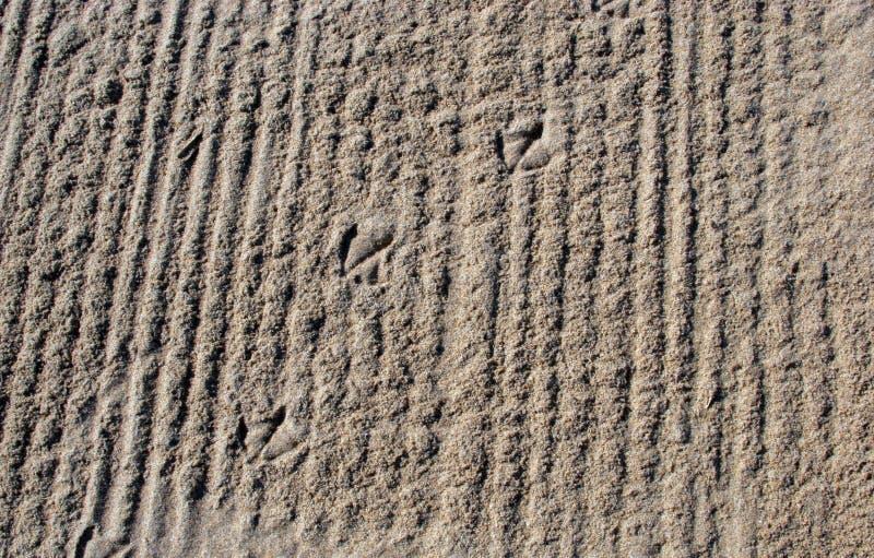 Seagullfågels fotspår i sanden arkivbilder