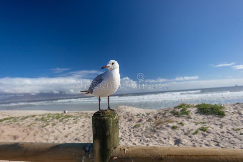 Seagullfågelstrand royaltyfria bilder
