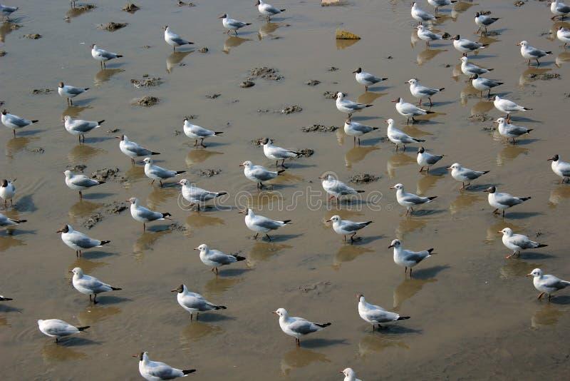 Seagullflock arkivfoto