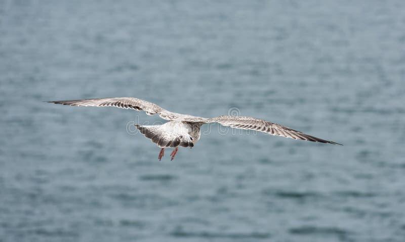 Seagullflyg royaltyfri fotografi