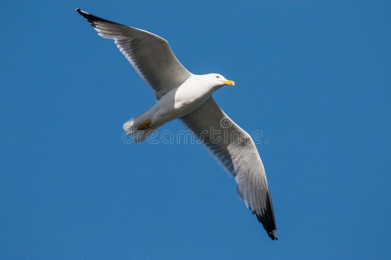 Seagullflyg i blåtten arkivbild