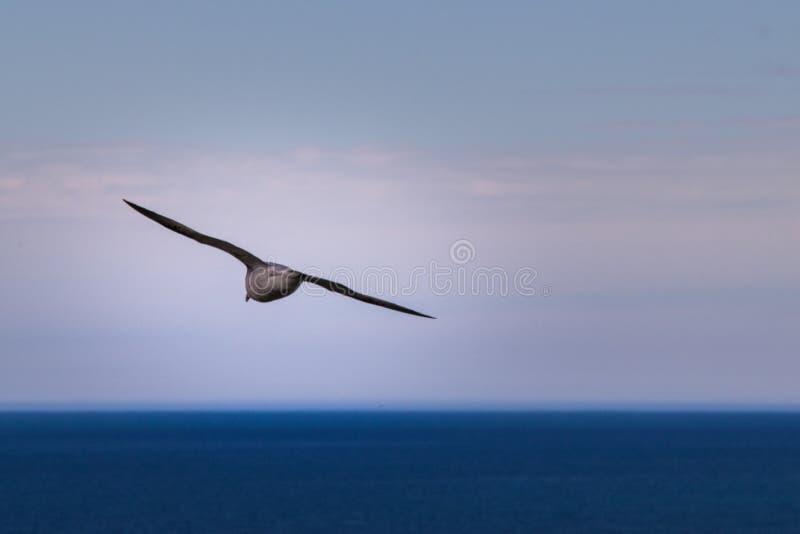 Seagullflyg in i horisonten fotografering för bildbyråer