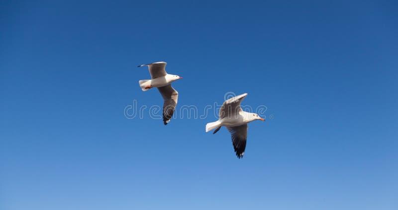 Seagullflyg i skyen arkivbild