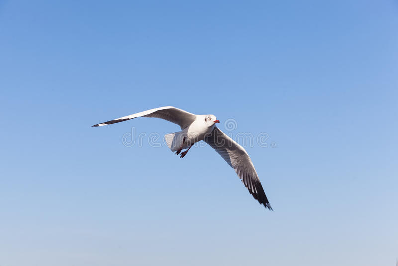 Seagullflyg i skyen royaltyfri fotografi