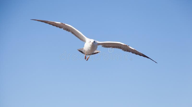 Seagullflyg i skyen arkivfoto
