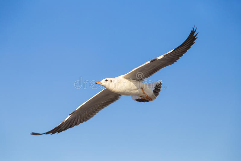 Seagullflyg i skyen royaltyfria foton