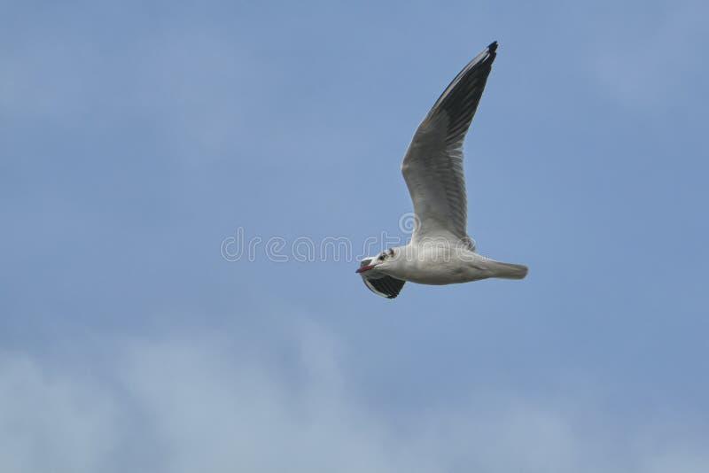 Seagullflyg i skyen fotografering för bildbyråer