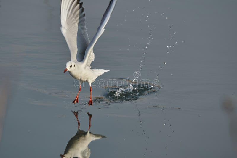 Seagullflyg på sjön arkivbild
