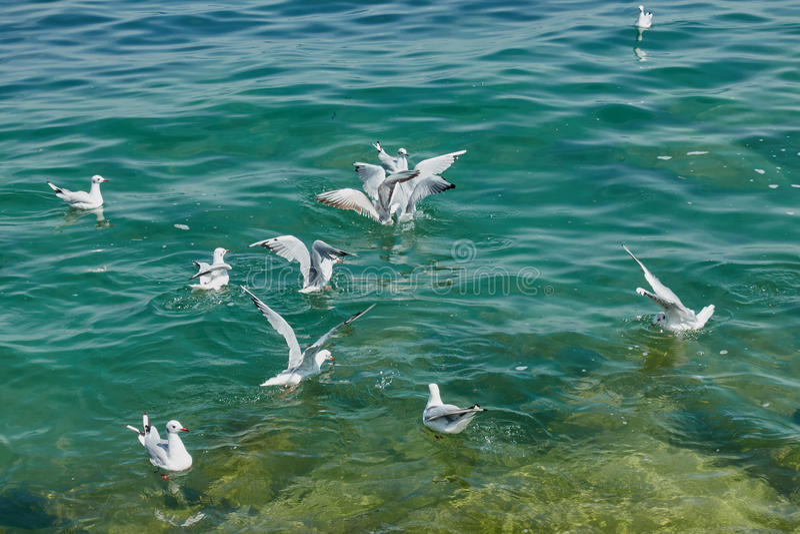 Seagullflyg på sjön arkivfoton