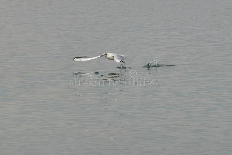 Seagullflyg på sjön royaltyfri bild