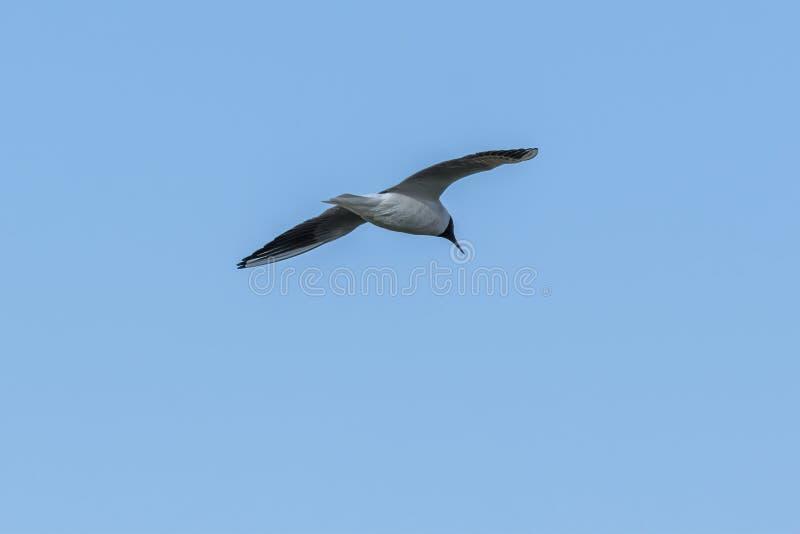 Seagullflyg p? sj?n fotografering för bildbyråer