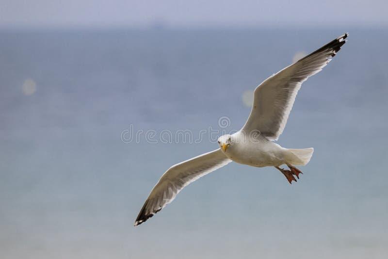 Seagullflyg p? stranden royaltyfri foto
