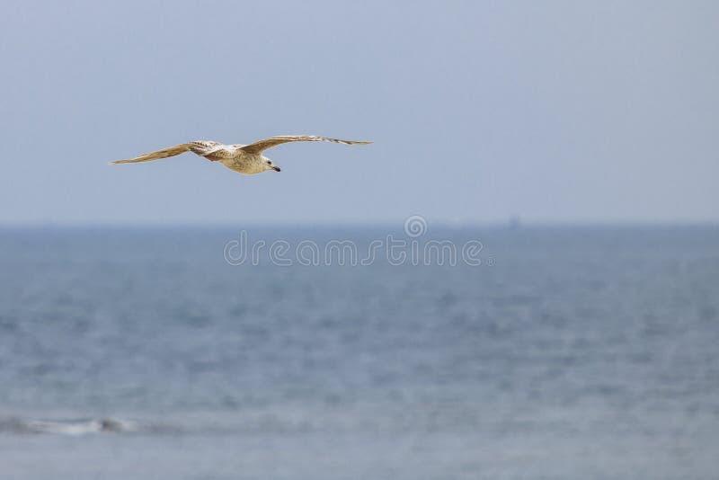 Seagullflyg p? stranden royaltyfri fotografi
