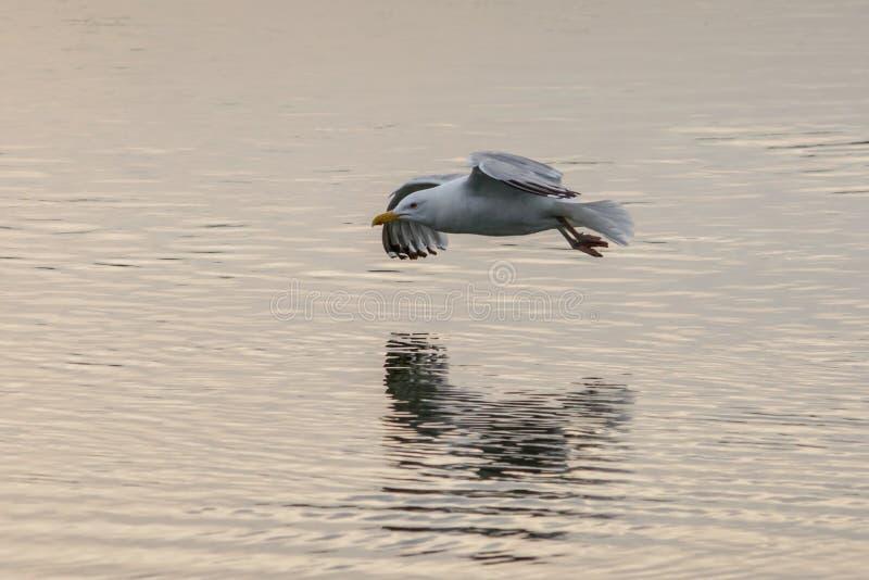 Seagullflygbottenläge över en sjö med reflexion i vattnet royaltyfria bilder