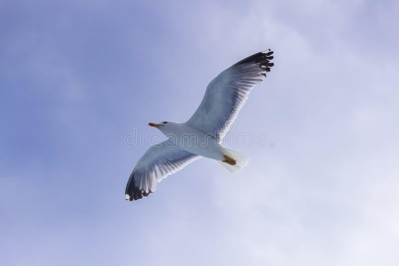 Seagullflyget royaltyfria bilder