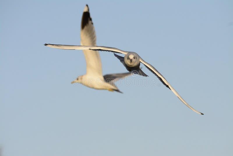 Seagullheadon fotografering för bildbyråer