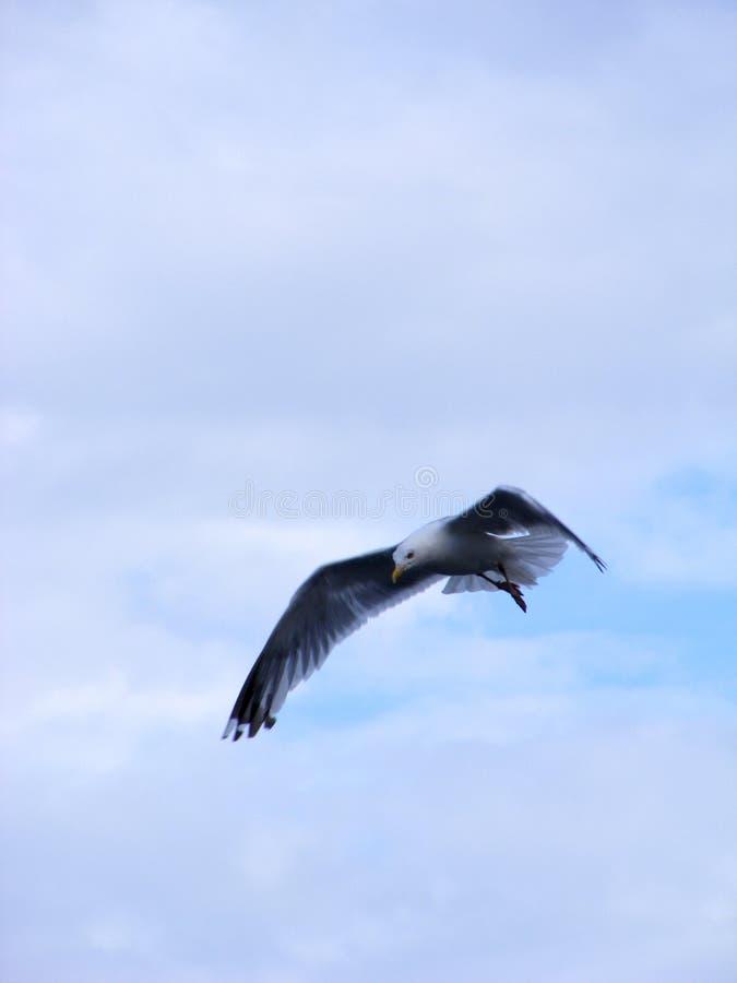 Seagulljakter efter mat arkivfoton