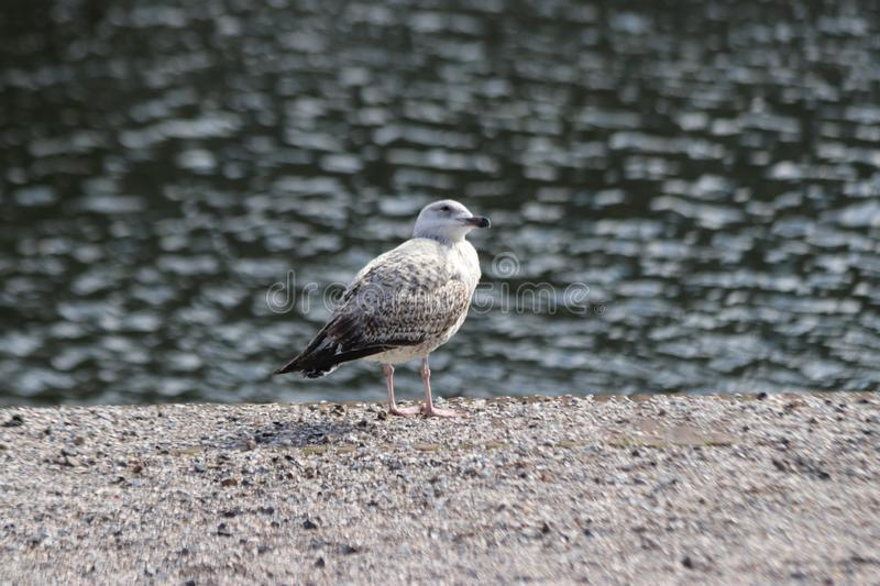 Seagulll waiting on the edge of the water on the Lange Vijverberg in The Hague to wait on tourist who drops food. stock images