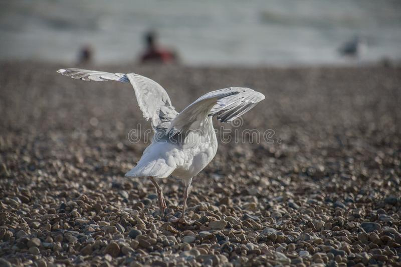 Seagulllandning på en strand - Brighton, England royaltyfria bilder