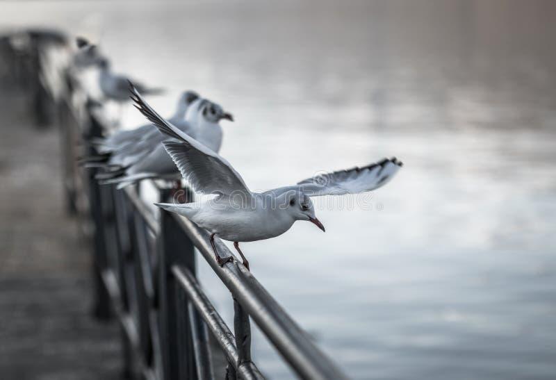 Seagullplacering på stänger arkivfoto