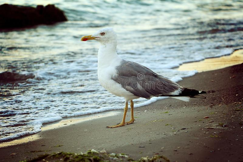 Seagulls Ñ ‡ аР¹ ки Ð ¼ Ð Denny ¾ Ñ€ÐΜ zdjęcia royalty free