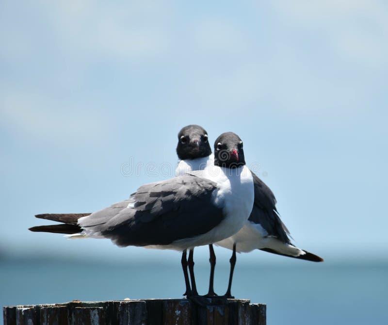 Seagulls γέλιου στοκ εικόνα