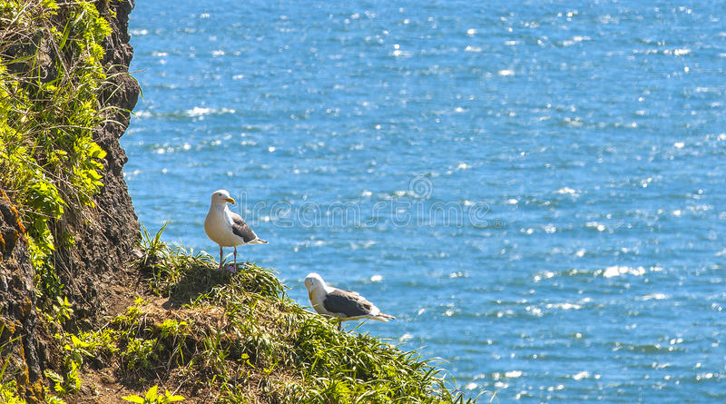 Seagulls κάθονται ανά τα ζευγάρια στις φωλιές σε έναν βράχο στοκ εικόνα