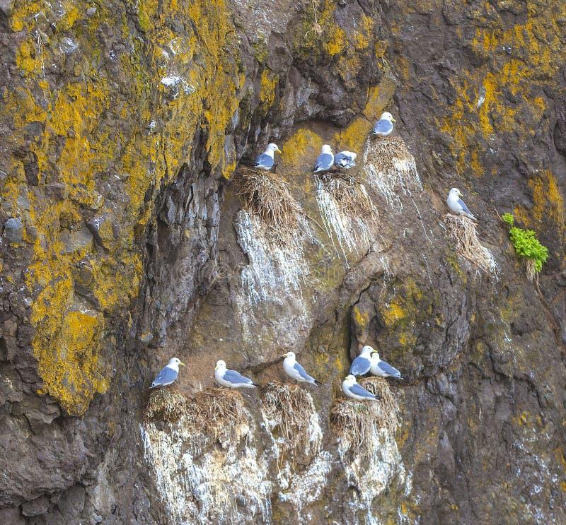 Seagulls κάθονται ανά τα ζευγάρια στις φωλιές στον απότομο βράχο εισβάλλουν στοκ φωτογραφίες με δικαίωμα ελεύθερης χρήσης