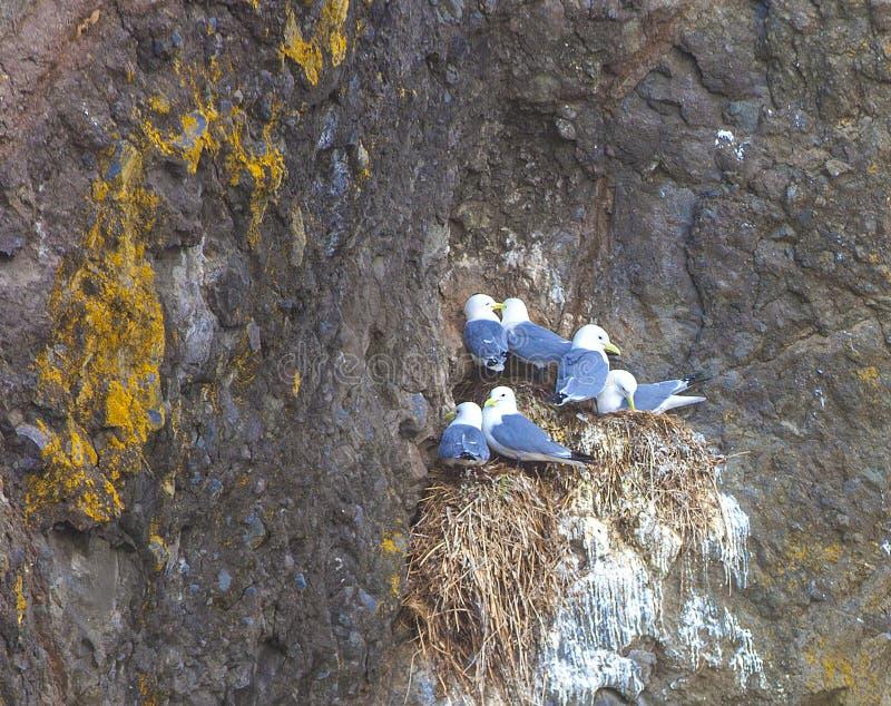 Seagulls κάθονται ανά τα ζευγάρια στις φωλιές στο βράχο στοκ φωτογραφίες