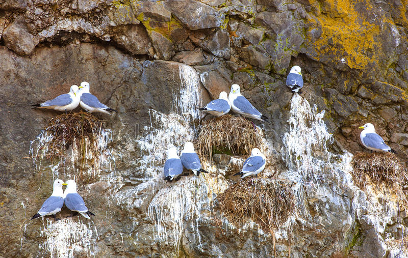 Seagulls κάθονται ανά τα ζευγάρια στις φωλιές στο βράχο στοκ εικόνα