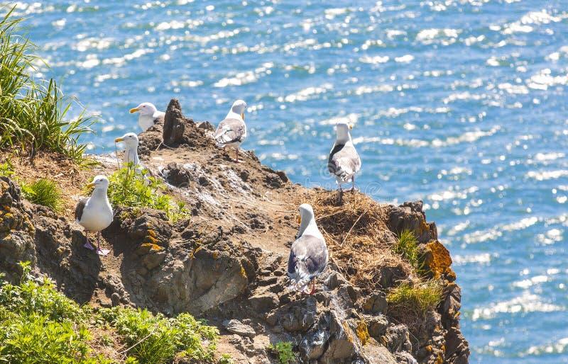 Seagulls κάθονται ανά τα ζευγάρια στις φωλιές στοκ εικόνες