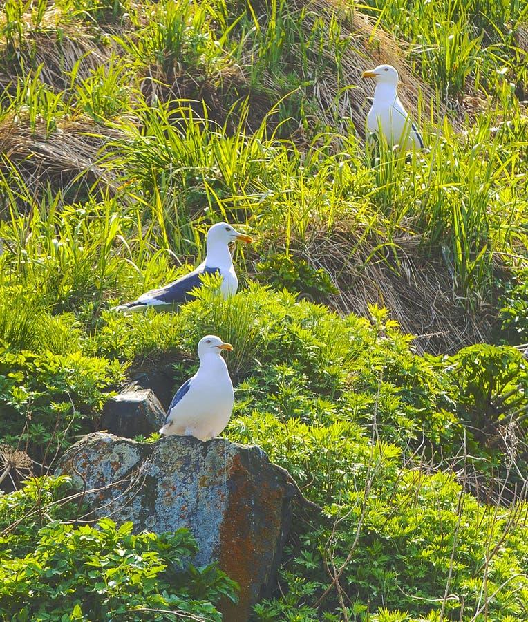 Seagulls κάθονται στις φωλιές σε έναν βράχο που καλύπτεται με τη χλόη στοκ φωτογραφία