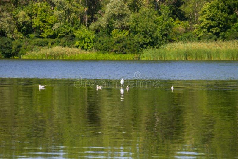 Seagulls και άσπρος τσικνιάς στον ποταμό στοκ εικόνες με δικαίωμα ελεύθερης χρήσης