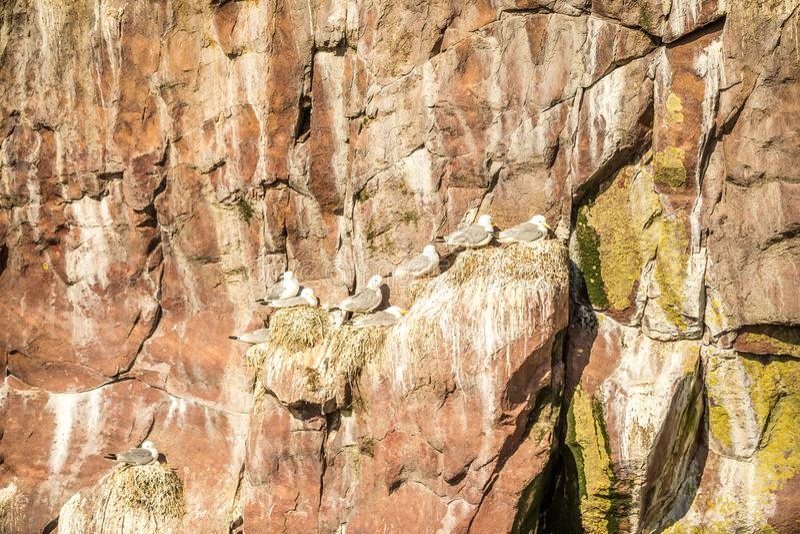 Seagulls με τον απόγονό τους στις φωλιές στους απότομους βράχους, νέα γη α στοκ φωτογραφίες με δικαίωμα ελεύθερης χρήσης