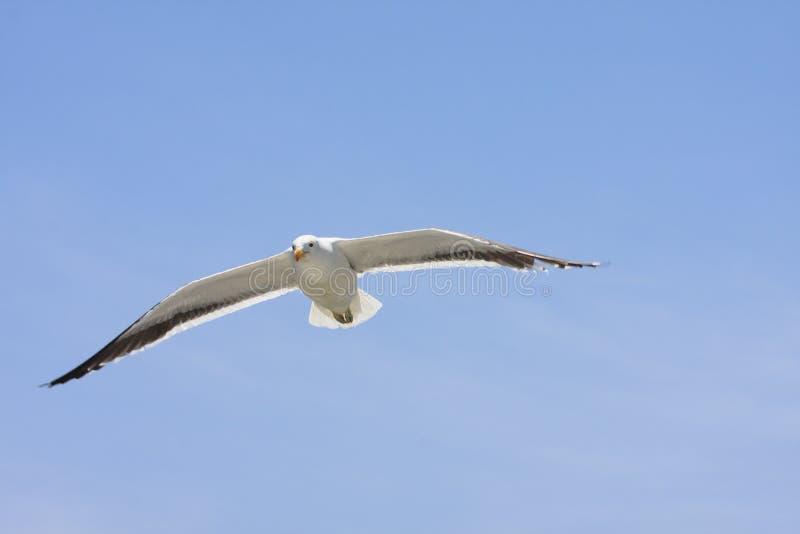 Seagulls πέταγμα υψηλό στον μπλε αέρα, που κυματίζει τα φτερά τους άνω του θορίου στοκ φωτογραφία
