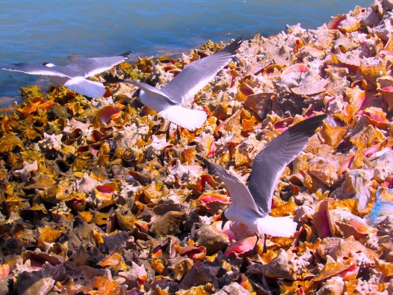 Seagulls που πετούν πέρα από τα κοχύλια Conch στοκ φωτογραφίες