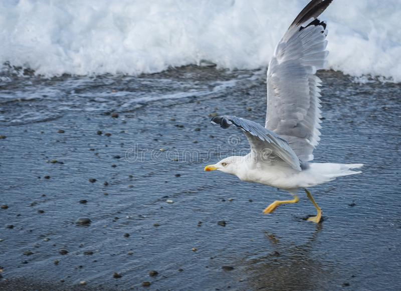 Seagulls που πετούν πέρα από τα κύματα Μαύρης Θάλασσας στο Sochi, Ρωσία στοκ φωτογραφία με δικαίωμα ελεύθερης χρήσης