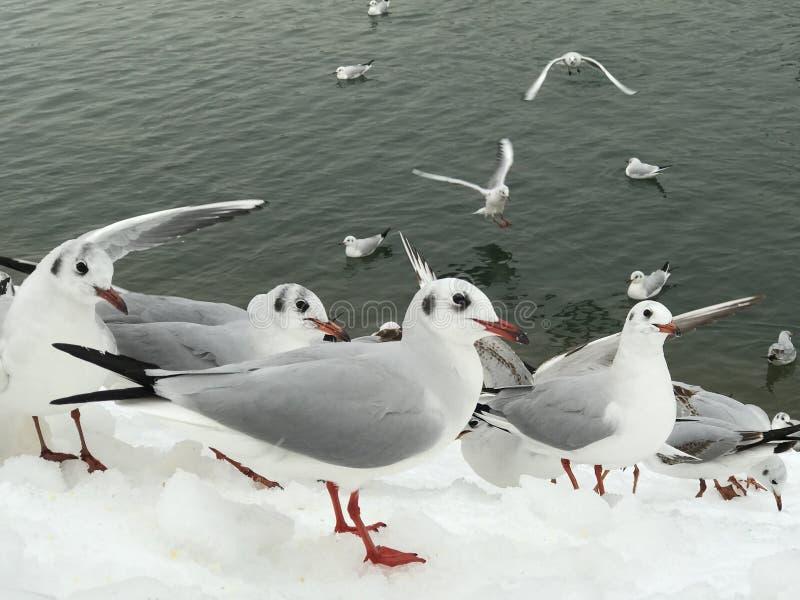 Seagulls που προσέχουν τους ανθρώπους στο χιόνι στοκ φωτογραφίες