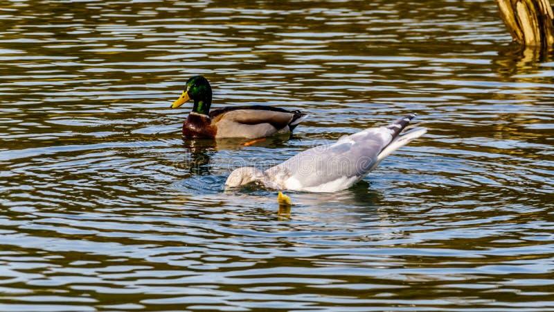 Seagulls που στο σολομό ωοτοκίας στον ποταμό σανίδων προς τα κάτω του φράγματος Ruskin στη λίμνη Hayward κοντά στην αποστολή, Π.Χ στοκ φωτογραφία