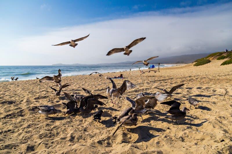 Seagulls που ταΐζουν mid-air στην παραλία στο μισό κόλπο φεγγαριών σε Καλιφόρνια στοκ εικόνα