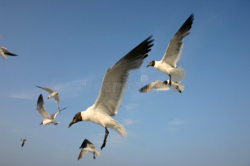 Download Seagulls πτήσης στοκ εικόνες. εικόνα από υπαίθριος, κοπάδι - 123246