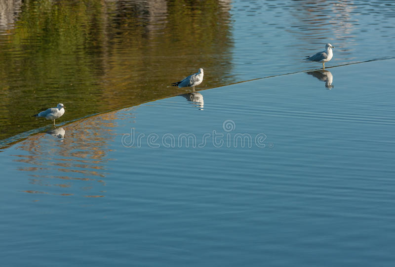 Seagulls στην άκρη του φράγματος στοκ φωτογραφίες με δικαίωμα ελεύθερης χρήσης