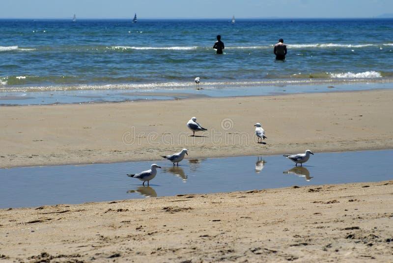 Seagulls στην παραλία σε Frankston στοκ φωτογραφίες με δικαίωμα ελεύθερης χρήσης
