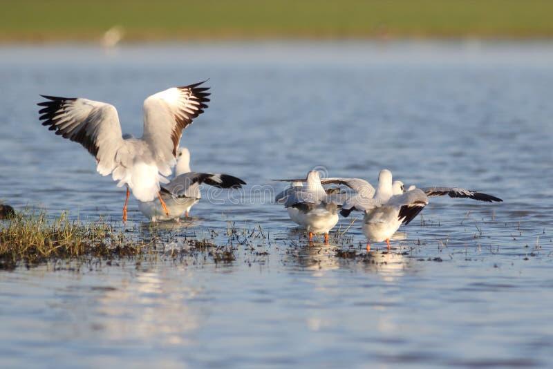 Seagulls στη λίμνη στοκ φωτογραφία με δικαίωμα ελεύθερης χρήσης